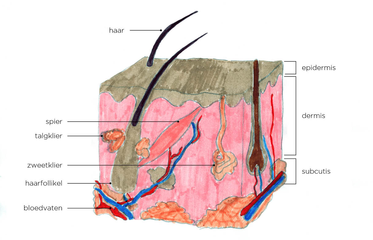 Opbouw van de huid - collageenscan